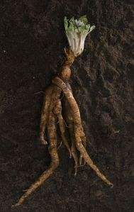 Mandrake root photographed for NGM Departments. Susan Welchman